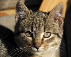 Los catéteres franceses para gatos