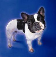 El entrenamiento de un Bulldog Francés Mini