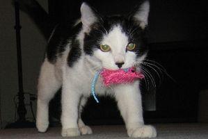 Cómo alimentar a su gato una dieta saludable