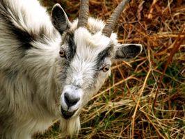 Cuáles son los tratamientos para la tiña de las cabras?