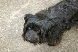 Trastornos de la piel en perros de pelo largo