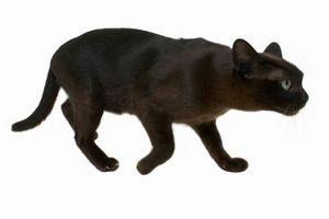 ¿Por qué los gatos hacen sonidos de caza?