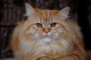 Es de pelo en la diarrea como síntoma de la obstrucción intestinal por un gato?