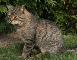 La cistitis hemorrágica en los gatos