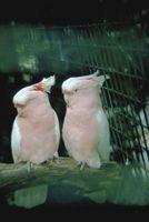 Cacatúas pueden vivir con otras especies de aves?