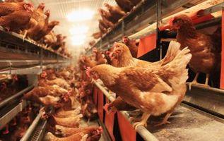 Cómo mantener a los pollos de los nidos en los Pasos en la noche