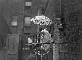 Normas para la cría de Cockatoo del paraguas