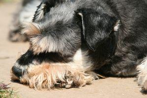 Cómo lavar un perro Mauzer