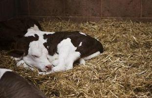 Precauciones de ternera recién nacida