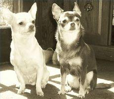 Problemas de las rodillas Chihuahua