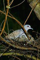 Cómo construir refugios para palomas de luto