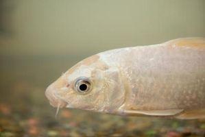 ¿Puede una cola de milano Goldfish vivir con Koi?