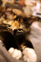 Enfermedades de la piel felina