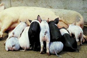 Cómo iniciar cultivo de cerdo
