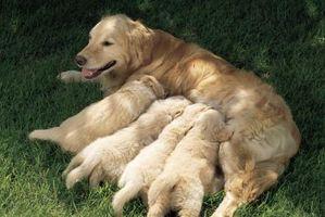 Los síntomas tempranos de mano de obra en un perro embarazada