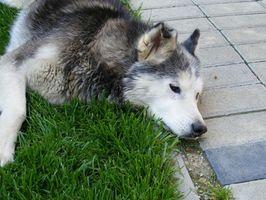 La enfermedad ósea degenerativa en perros