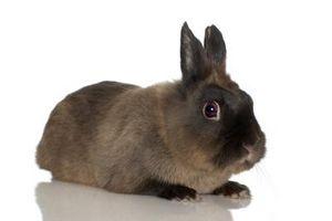 Cuidado de la oreja de un conejo