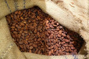Como fermentar Cacao