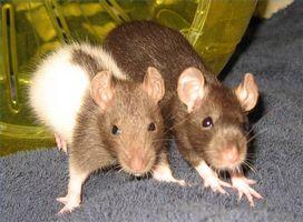 Cómo mantener a salvo de ratas como mascotas perros