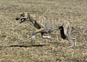 ¿Cuáles son los tratamientos para el pénfigo en perros galgo?