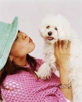 Cómo preparar una cara de perro maltés y evitar manchas de lágrimas