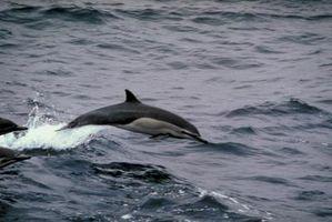 Tipos de pescado consumido por los delfines