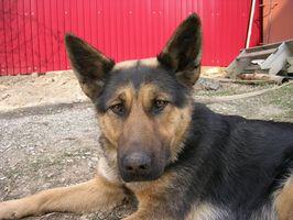Fenobarbital para las infecciones del oído canino