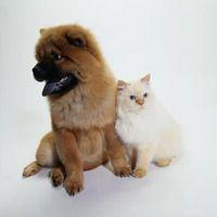 Cómo introducir un cachorro al gato residente