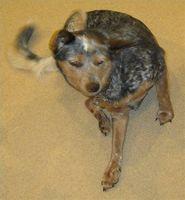 Tratamientos homeopáticos pulgas para los perros