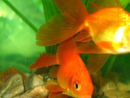 Trastorno de la vejiga natatoria en Goldfish