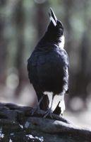 ¿Cuál es la diferencia entre el canto de los pájaros?