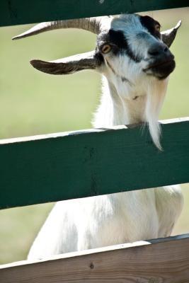 Cómo mantener una cabra de cabeza y cuernos Fuera de la cerca