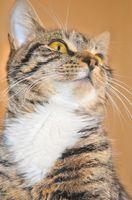 Cómo limpiar los oídos de los gatos 'con peróxido