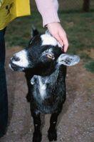 Cómo mantener una cabra Aún durante el ordeño Su