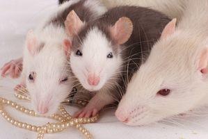 Lista de los roedores