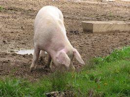 Cómo formular raciones de piensos para cerdos