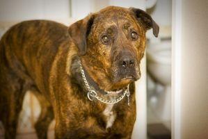 ¿Puede un perro vivo Su vida entera con tenias y no saberlo?