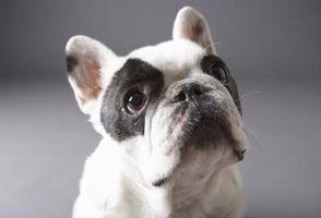 Limpieza de las arrugas de un bulldog francés