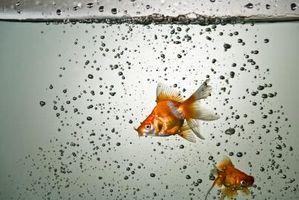 Cómo saber el sexo del Goldfish