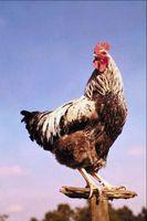 ¿Cuándo Ameraucana gallos maduros?