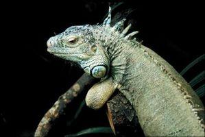 Enfermedad común en Iguanas
