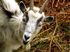 Cómo saber si una cabra es hombre o mujer?