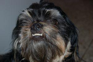 ¿Qué los perros utilizan sus dientes delanteros para?