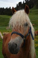 El tratamiento a base de hierbas para las úlceras gástricas en un caballo