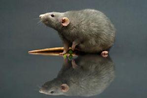 Sistema respiratorio de un roedor