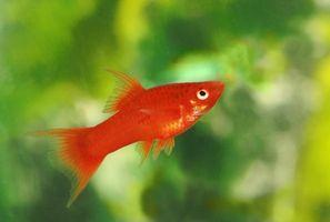 Consejos de los peces como mascotas para los niños