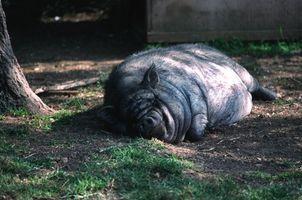 Cómo cuidar de piel de cerdo
