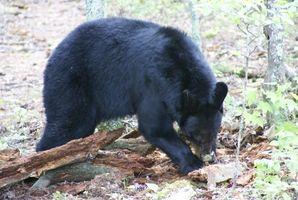 Cómo identificar las impresiones de la pata de oso