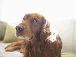 ¿Qué significa cuando un perro orina Sprays delante de usted?