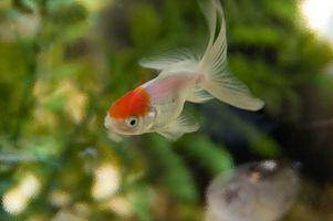 ¿Qué pasa cuando un pez de colores se sitúa en la esquina del tanque?